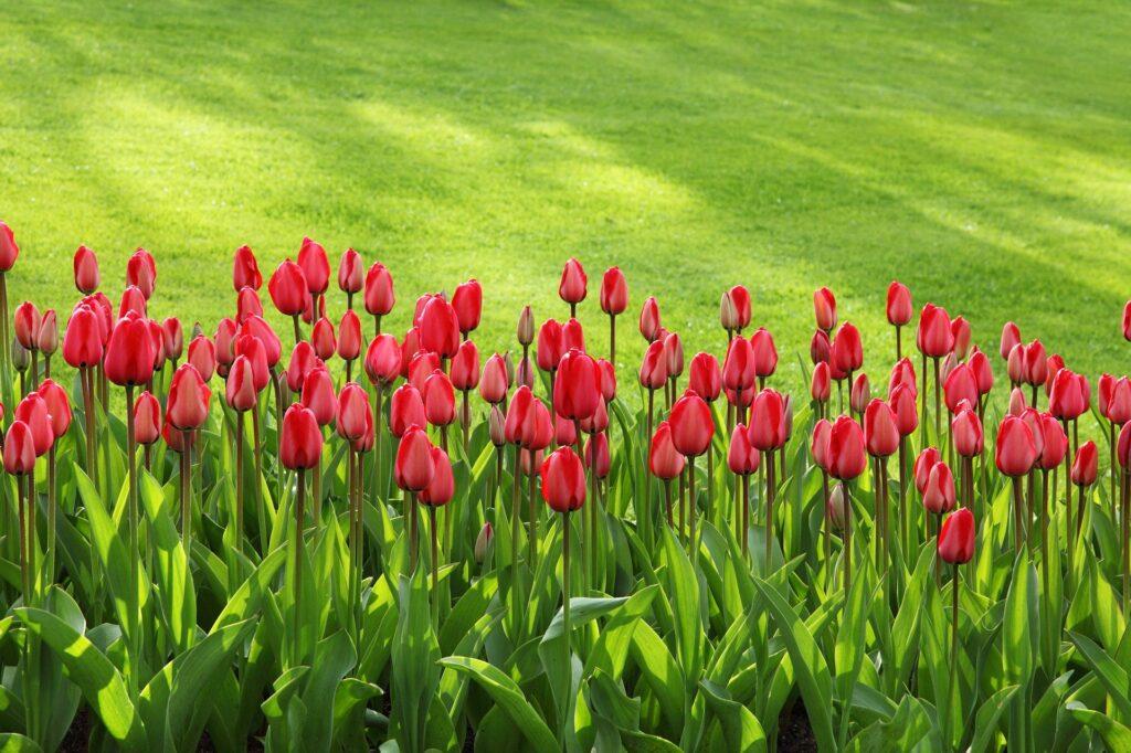 Gardening Tulips Flowers